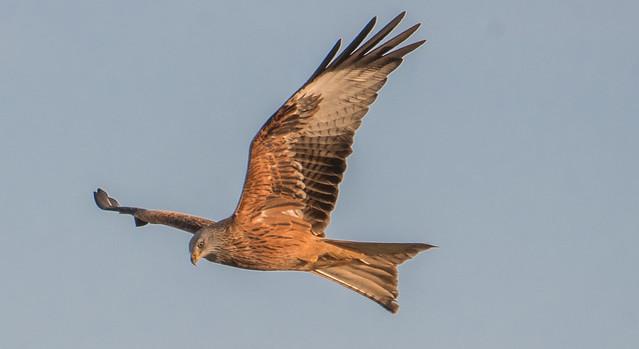 Vörös kánya (Milvus milvus / Red Kite)