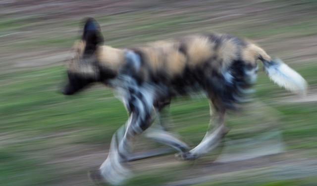 Zolli ZOO Basel junger Wildhund in Bewegung