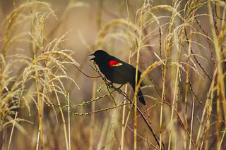 Red-Winged Blackbird calling from phragmites