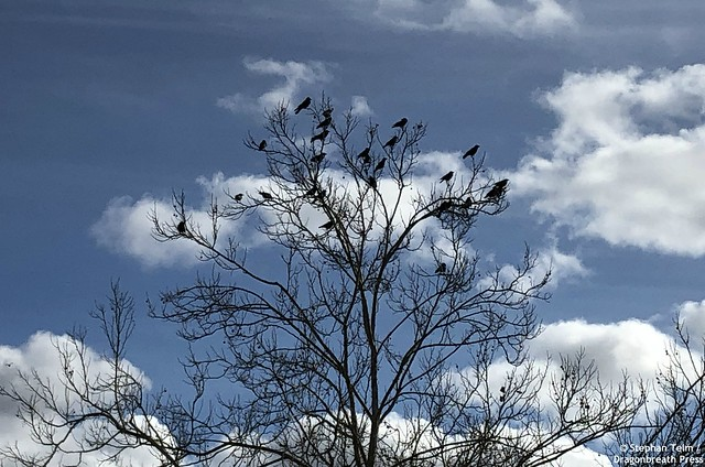 IMG_0209_A murder of crows