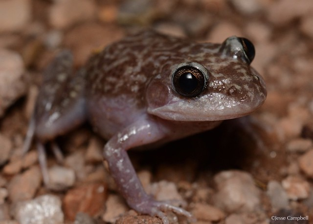 Carpenter Frog (Limnodynastes lignarius). Jabiru, NT