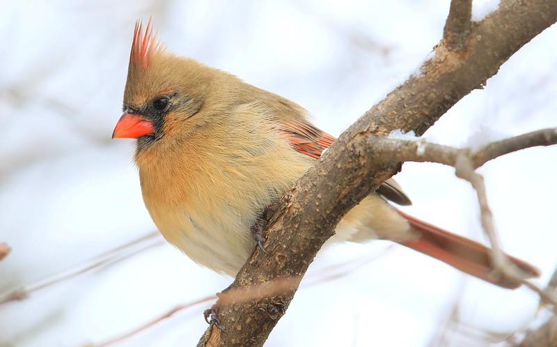 northern cardinal female at Lake Meyer Park IA 653A8772