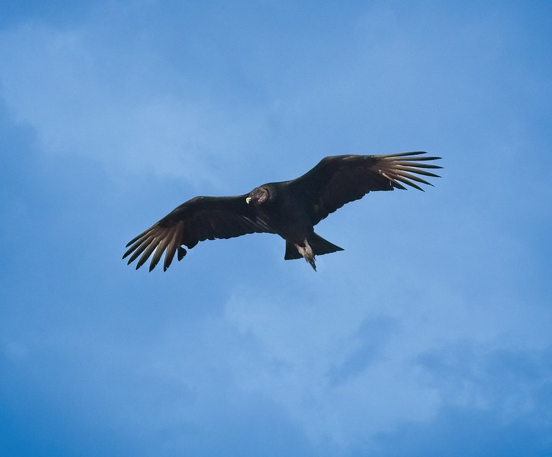 Black Vulture soaring at Manatee Springs