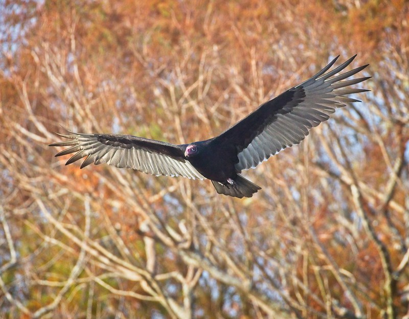 Turkey vulture of Manatee Springs Florida