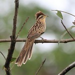 01-01-2020 Striped Cuckoo Darien Panama