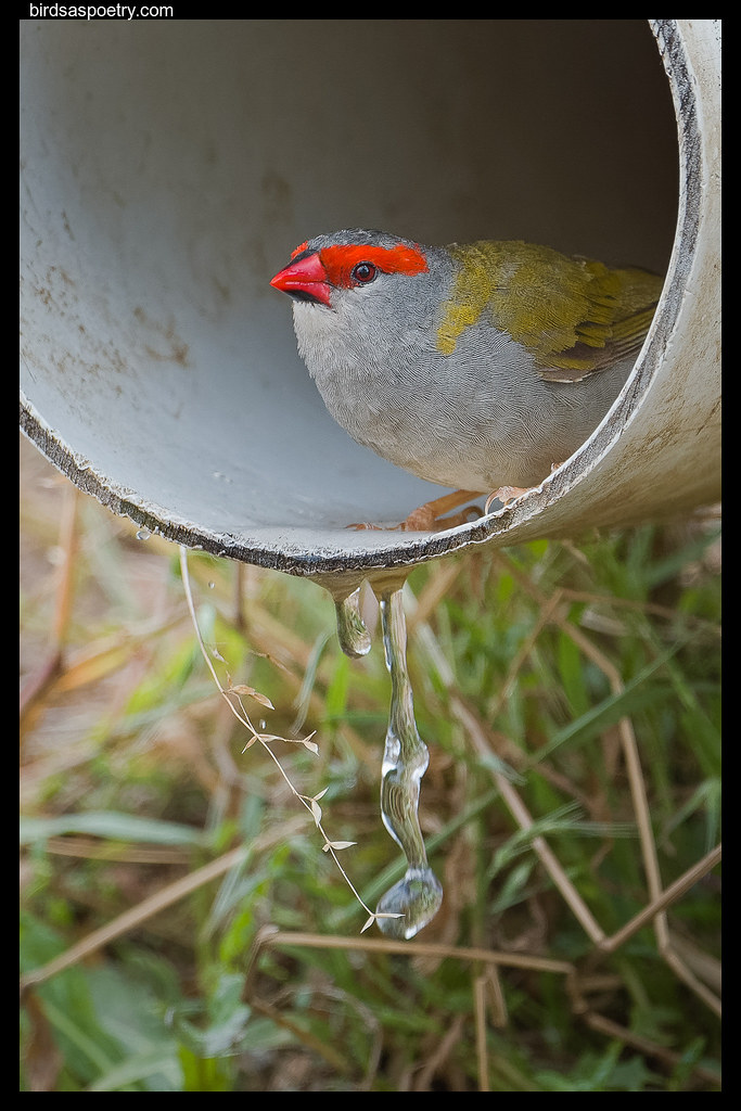 Red-browed Finch: The Precious Commodity