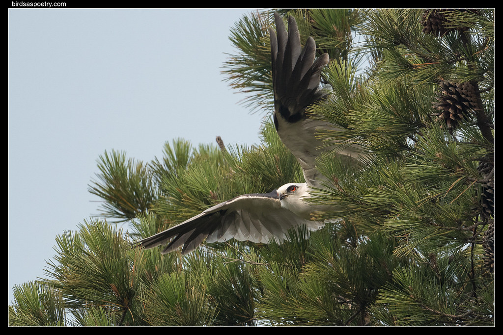 Black-shouldered Kite: Tradie at Work