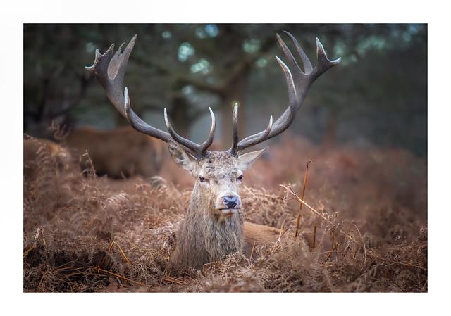 Grumpy Old Deer
