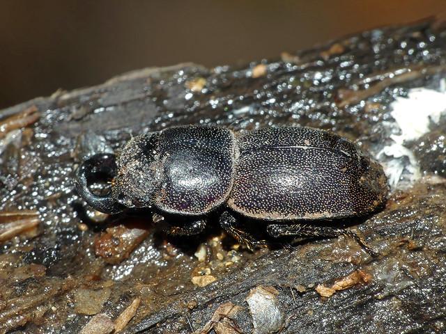 Stag-beetle Lissotes species