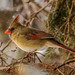 IMG_4936 female red cardinal