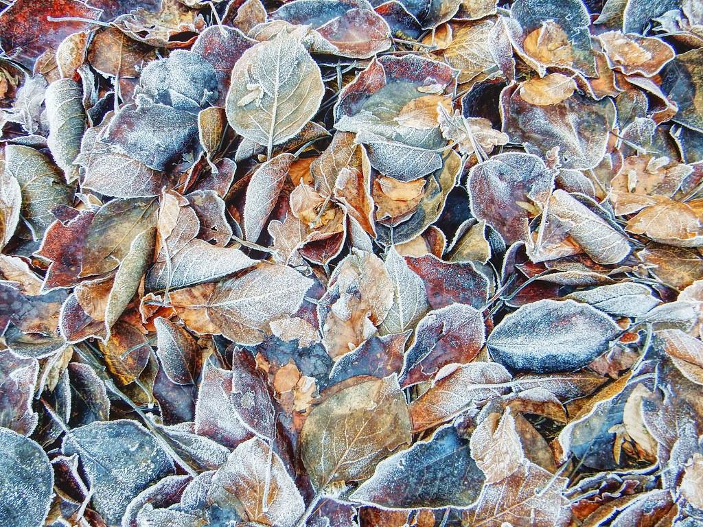 Blätter im Raureif