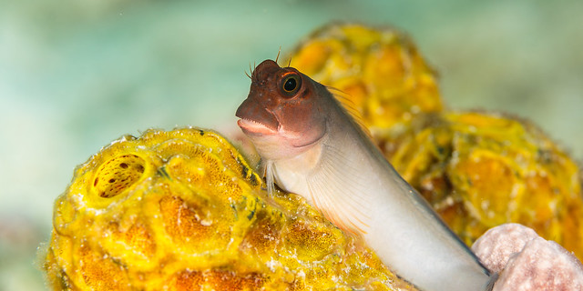 Blenny and sponge