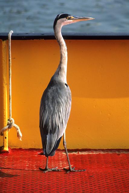 Gray heron,Netherlands