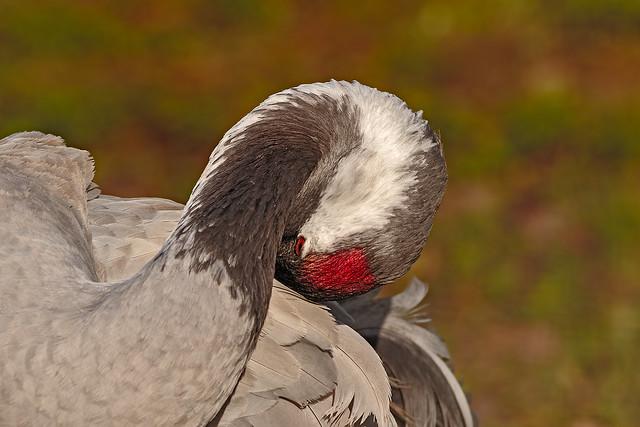 Common Crane @Slimbridge