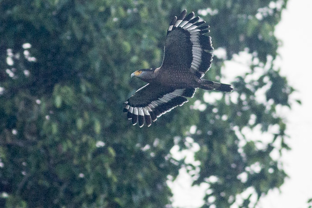 Crested Serpent Eagle in flight.