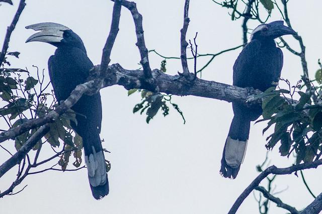 Black Hornbill  - male and female