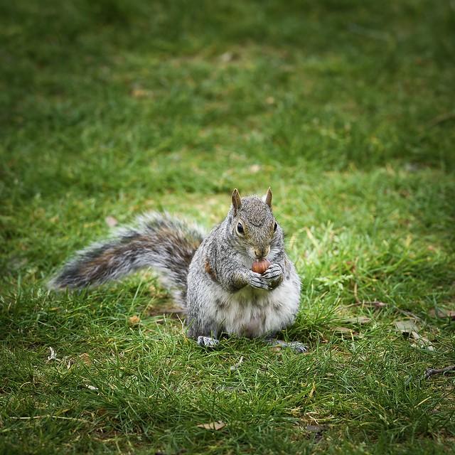 Squirrel with hazelnuts