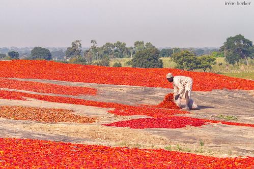 kadunastate nigeria westafrica zaria chili farming harvesting landscape village giwa