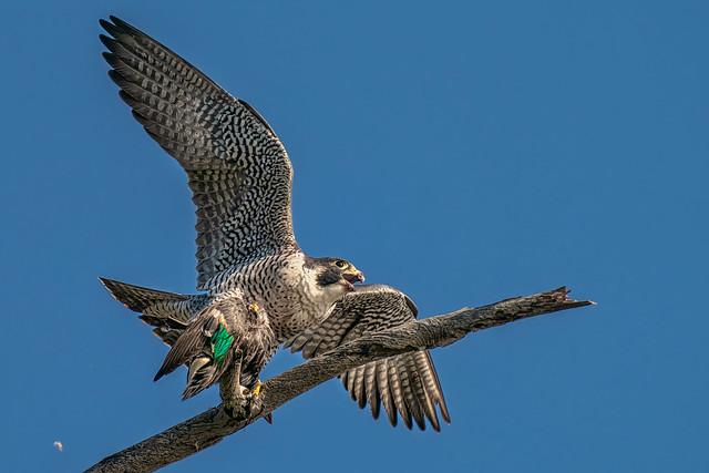 Away with the duck (peregrine falcon)
