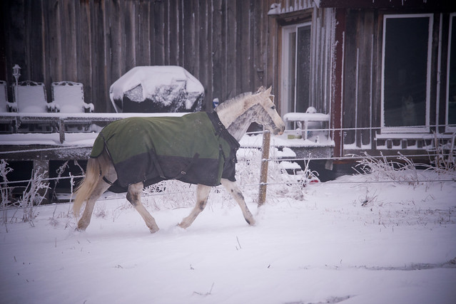 202001095 Horses and Dogs in Snow_177