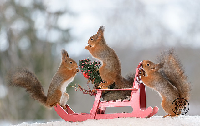 red squirrels standing with an sled and tree in snow
