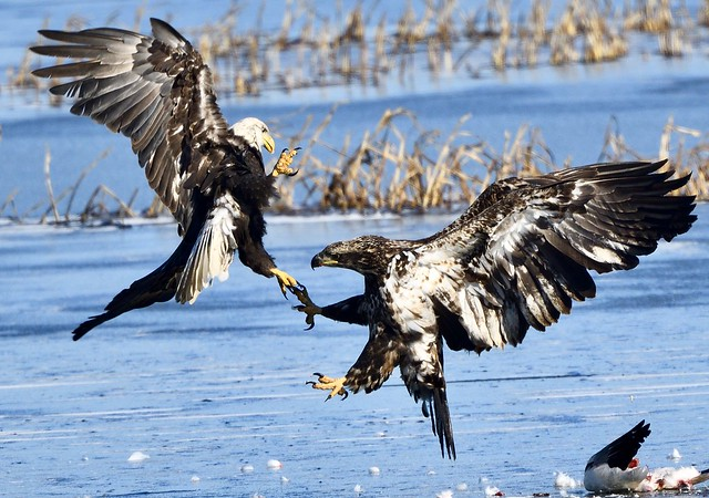 Bald Eagle fighting over snow goose