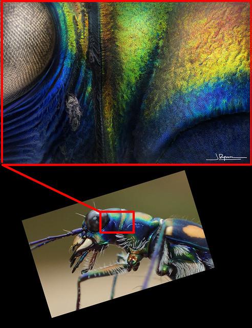 Cicindela aurulenta (detalle 18x)
