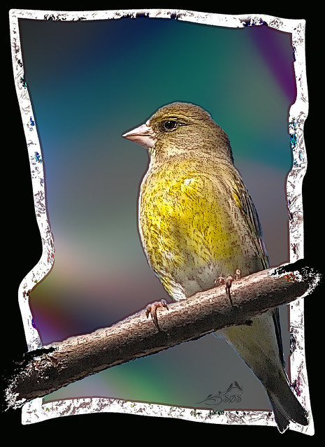 IMGL6434  Greenfinch artistic