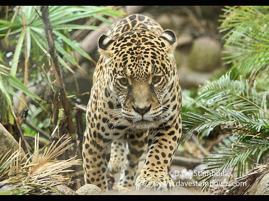 Jaguar (Panthera onca), Ecuador