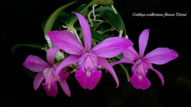 Cattleya walkeriana flamea 'Divina'