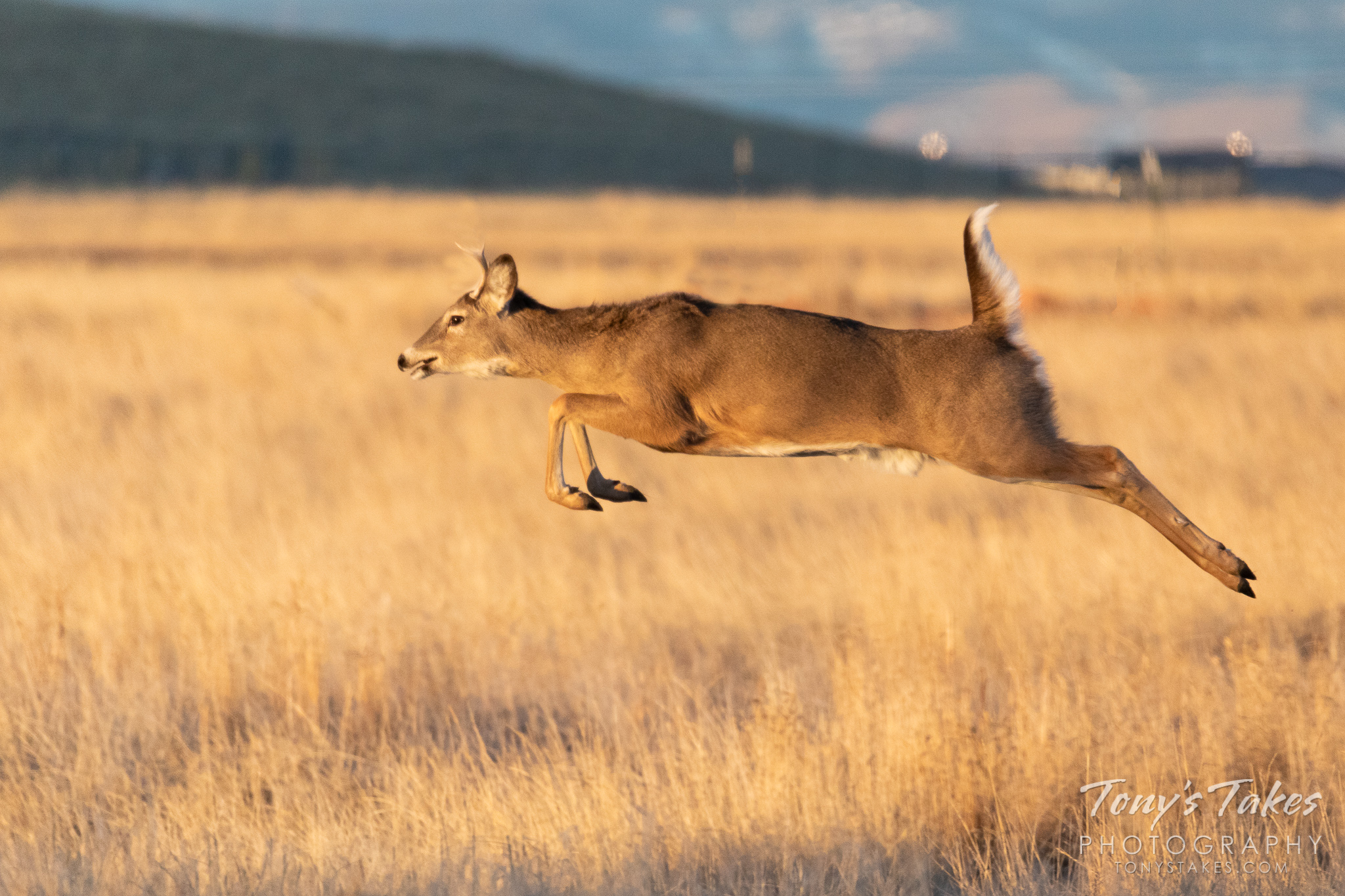A young white-tailed deer buck bounds across the plains. (© Tony's Takes)