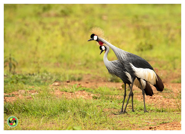 Cranes of Kigo - Balearica Regulorum