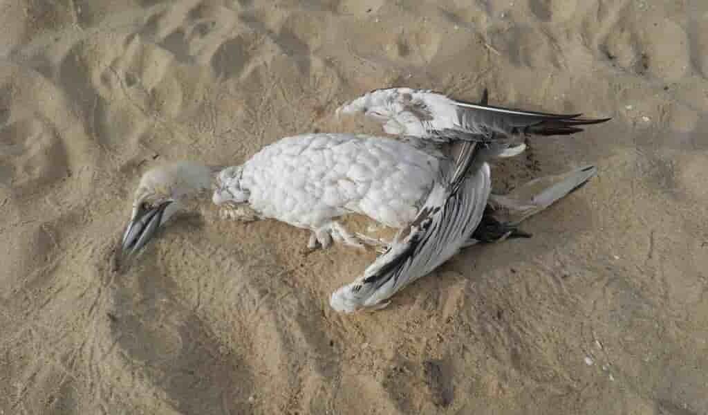 Le «blob» aurait tué un million d'oiseaux de mer
