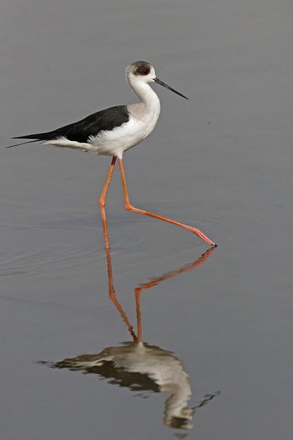 Echasse blanche - Black-winged Stilt