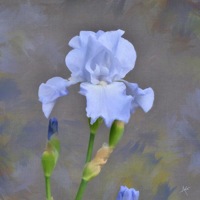 Blue Iris Study