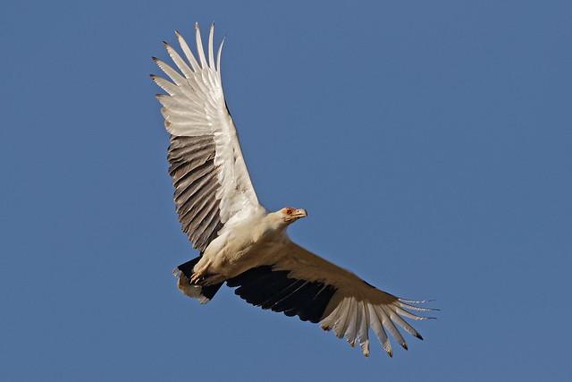 Palmiste africain - Palm-nut Vulture