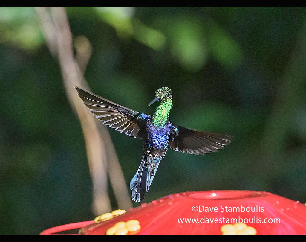 The amazing colors of a Fork-tailed woodnymph hummingbird (Thalurania furcata), Copalinga Lodge, Zamora, Ecuador