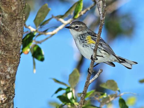 Yellow-rumped Warbler 2-20200101
