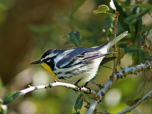Yellow-throated Warbler 01-20200101