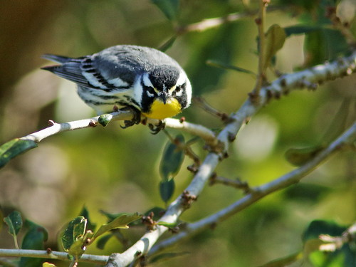Yellow-throated Warbler 02-20200101