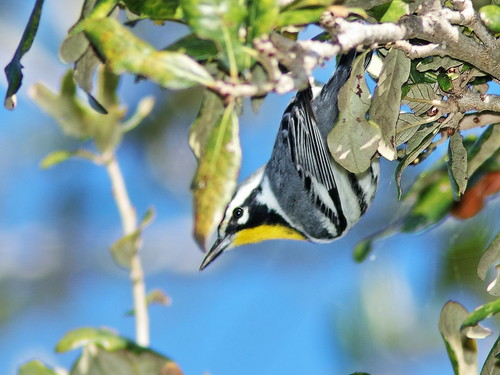 Yellow-throated Warbler 03-20200101