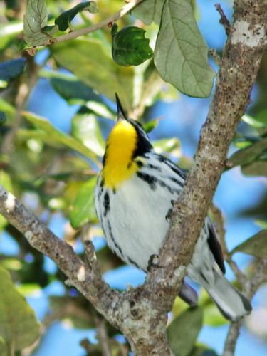 Yellow-throated Warbler 05-20200101