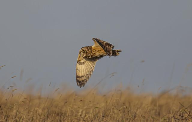 Short-eared Owl -5050845-1