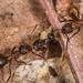 Wood ant Tug-o-war
