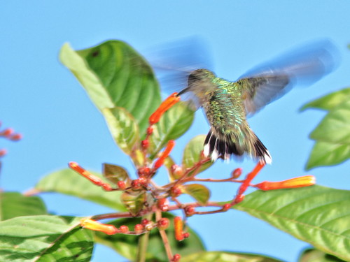 Ruby-throated Hummingbird 20200101