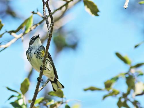Yellow-rumped Warbler 4-20200101