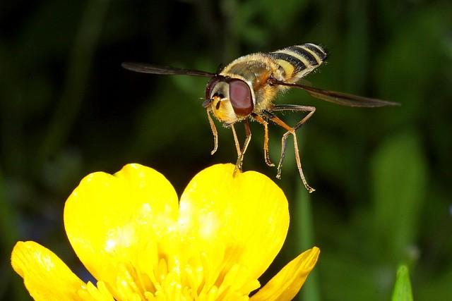 Rolf_Nagel-Fl-2430-Syrphidae