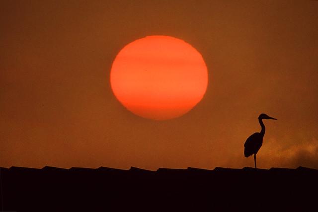 Gray heron at sunset,Netherlands