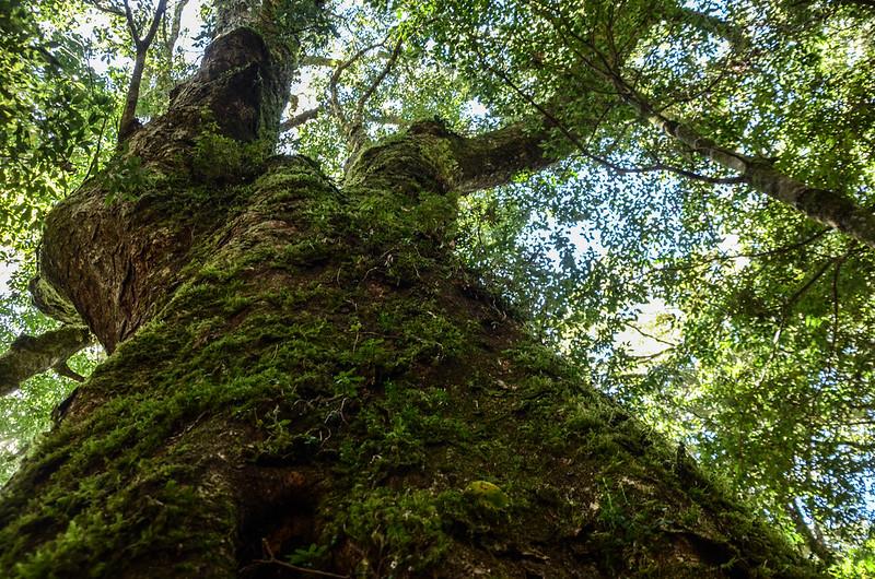 鐵本山巨木 (14)