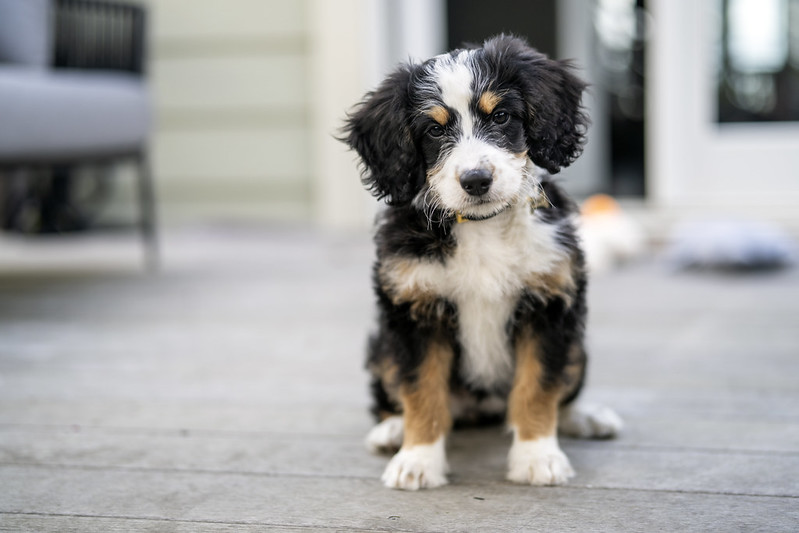 bernedoodle designer dog